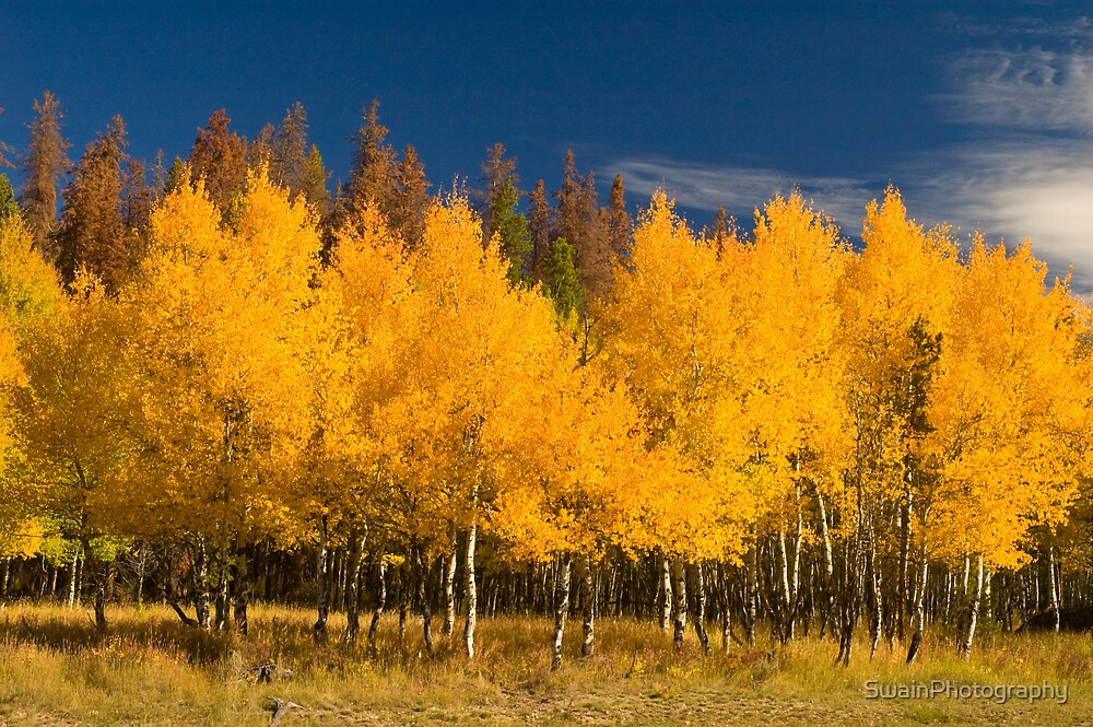 Aspen- Rocky Mountain National Park by SwainPhotography