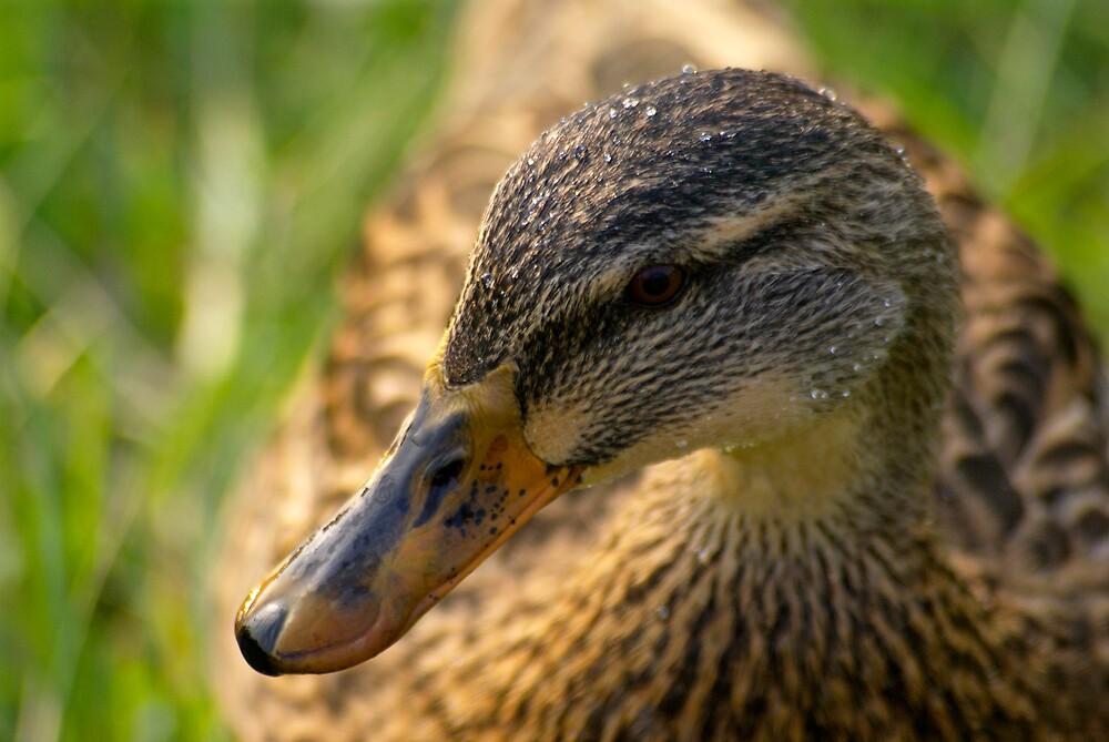 Just Ducky by Rod  Adams