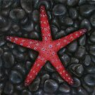 Ghardaqa Sea Star by Jessica Fittock