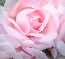 Pink silky rose  by 7horses