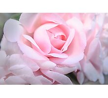 Pink silky rose  Photographic Print