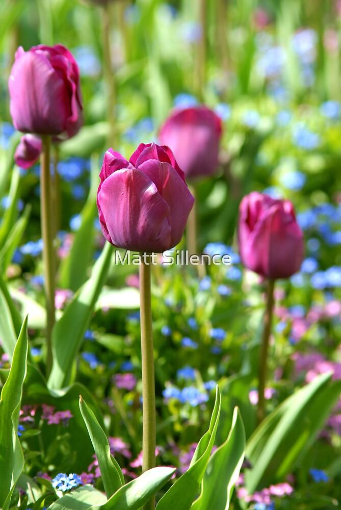 Tulips in the garden by Matt Sillence