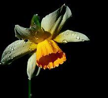 Daffodil by Leeo