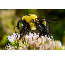 Bumble Bee's are Fuzzy Photographic Print