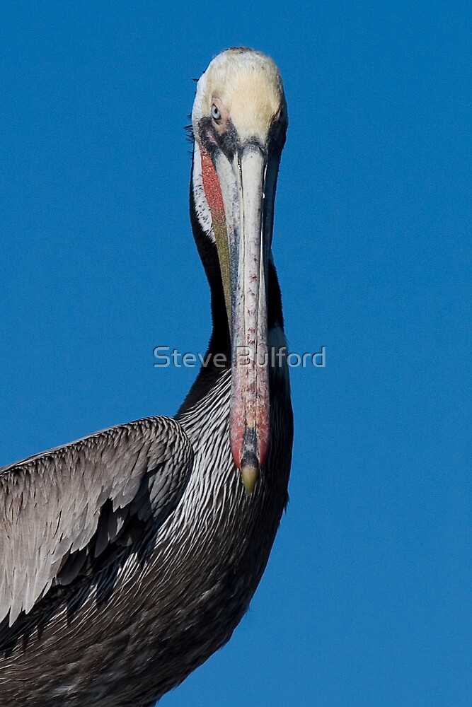 Brown Pelican by Steve Bulford
