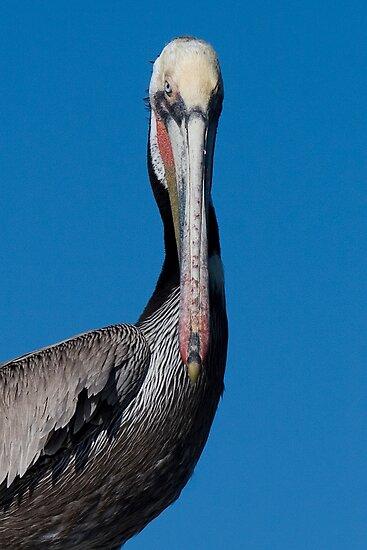 Brown Pelican by Steve Bulford