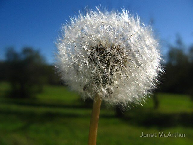 dandy lion by Janet McArthur