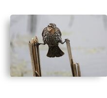 Wings...don't fail me now! - Red-Winged Blackbird Metal Print