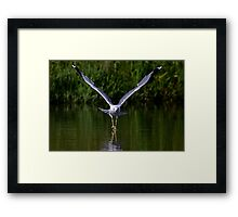Seagull walks on water Framed Print