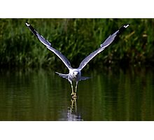 Seagull walks on water Photographic Print