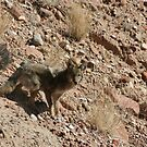 Coyote Waits by coopphoto