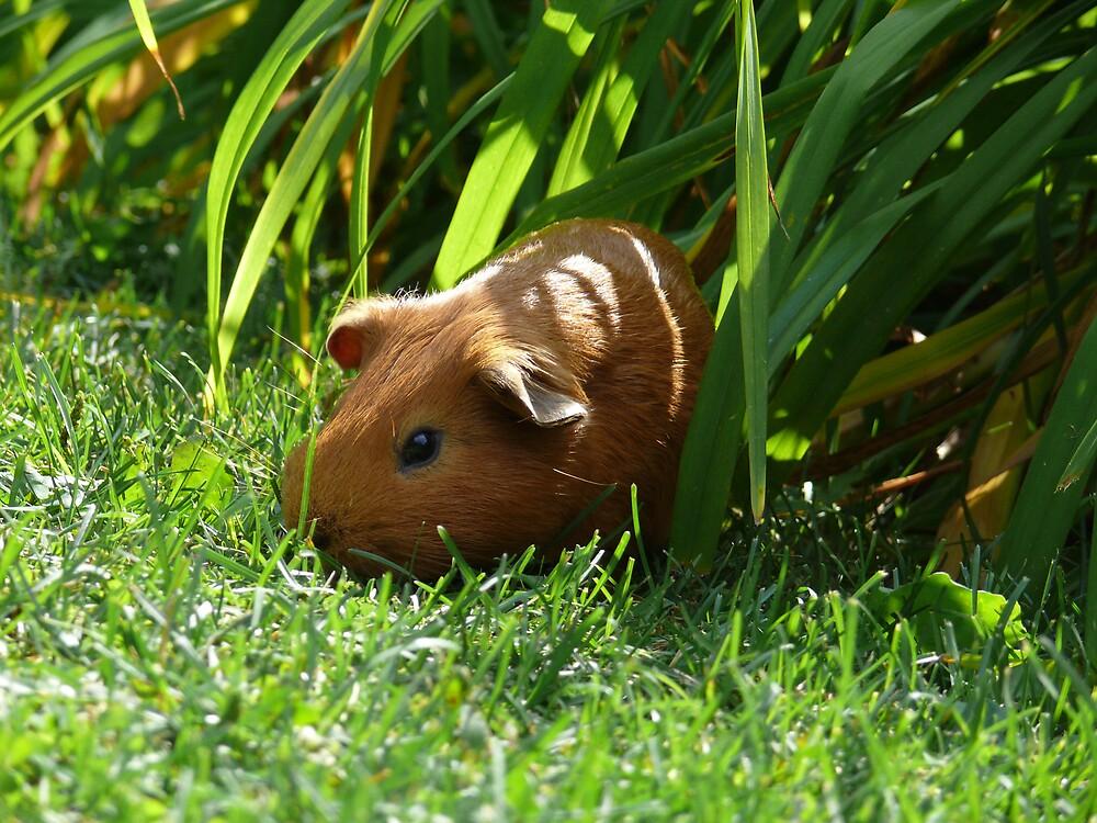 Wild Guinea Pig of Winnipeg by Geoffrey