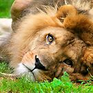 Lazy Lion by Lisa G. Putman