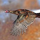 Turkey Flying - Wild Turkey, Ottawa, Canada by Jim Cumming