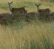 Red Deer Hind with her calf by countrypix