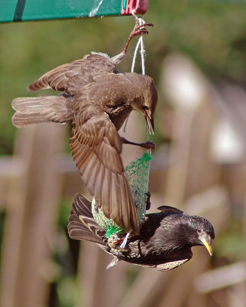 Starlings by Catherine Brock
