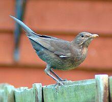 Blackbird (Mrs) by Catherine Brock
