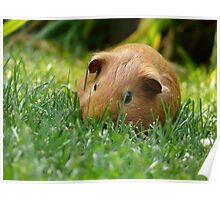 Guinea Pigs on the Lamb Poster