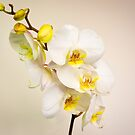 Phalaenopsis (moth orchid)  by JEZ22
