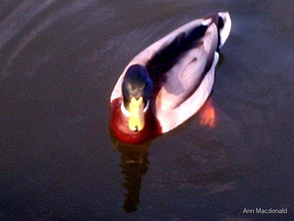 Duckie by Ann Macdonald