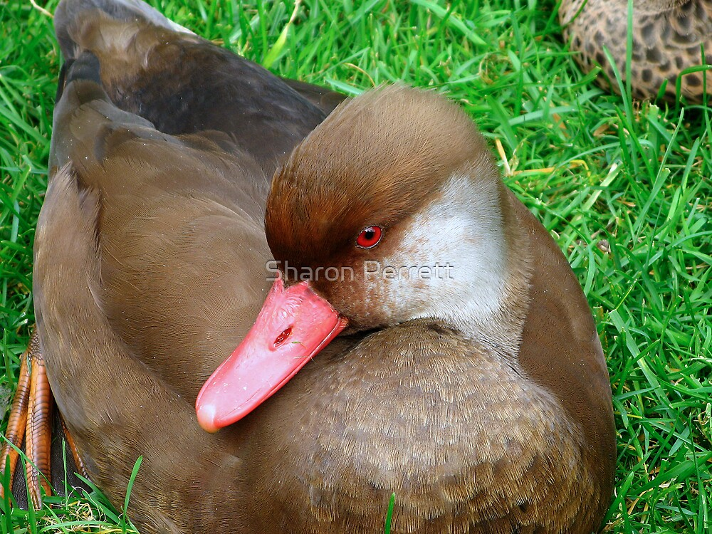 Red Eyed Duck by Sharon Perrett