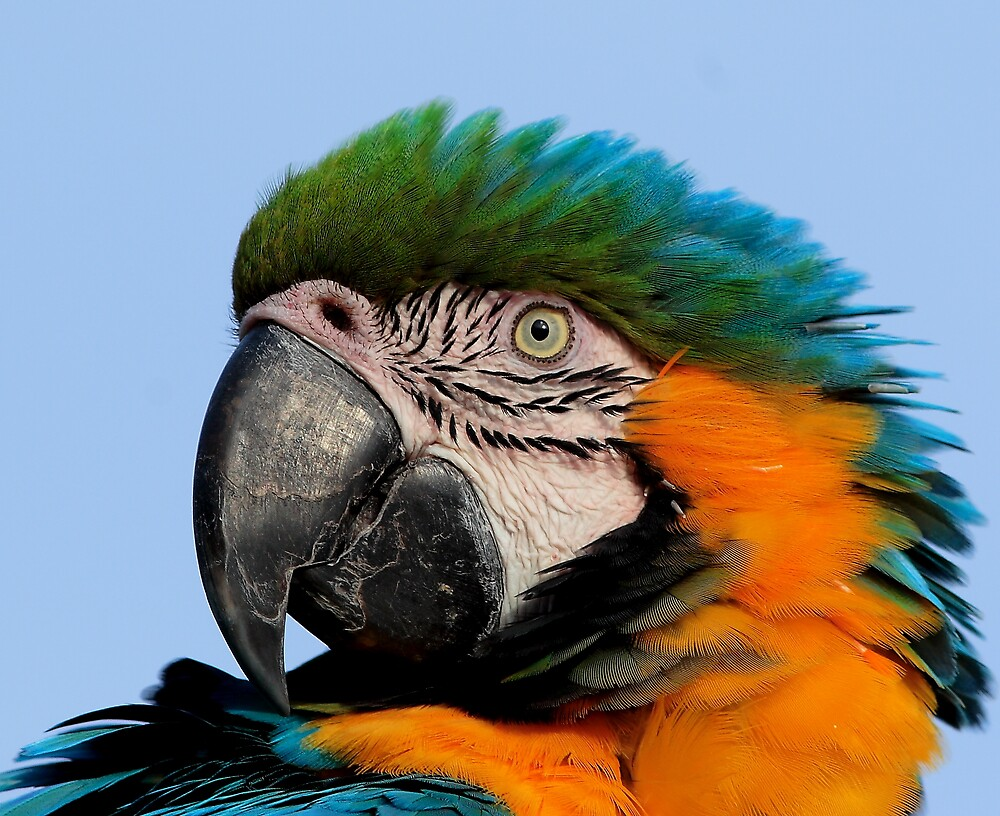 Macaw by kitlew
