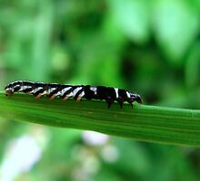 A Stripey caterpillar by Sharon Perrett