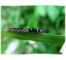 A Stripey caterpillar Poster