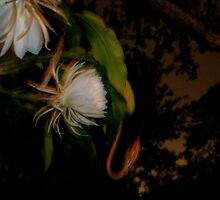 Night Blooming Cereus  by Amanda Figueroa