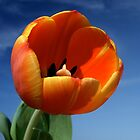 Tulip Closeup by Jeremy Harrington