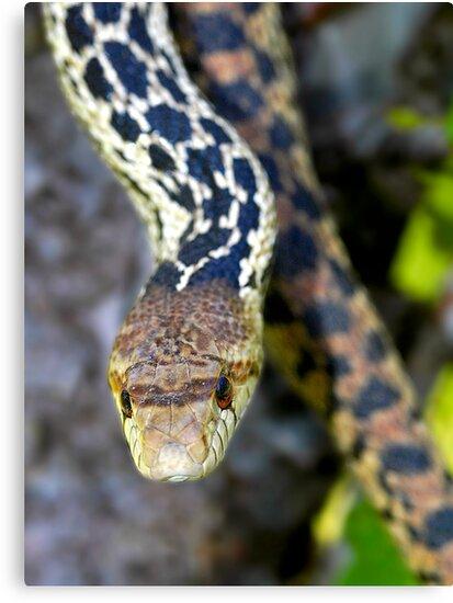 Gopher Snake. Figueroa Mountain, Santa Ynez, CA by Eyal Nahmias