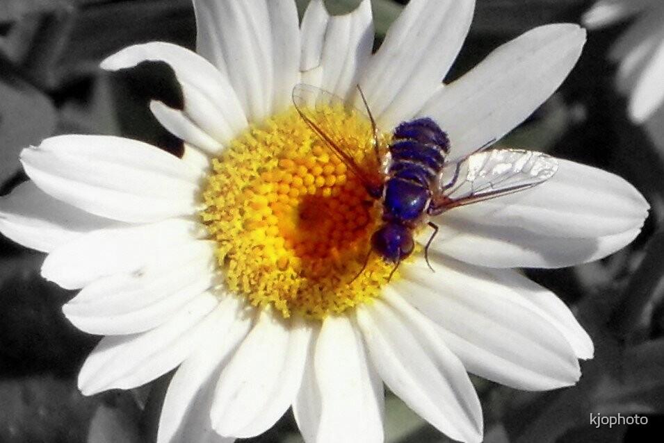 Fly Daisy by kjophoto