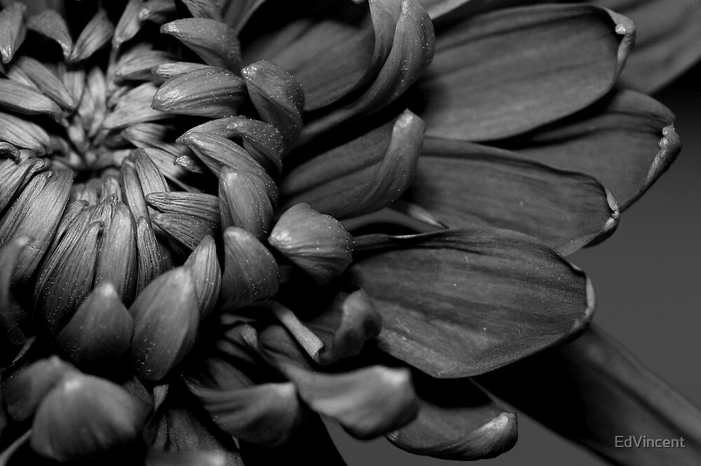 Black and white flower by EdVincent