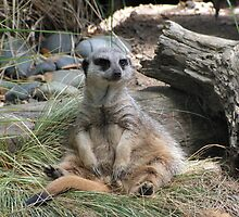 Meerkat by jillandian