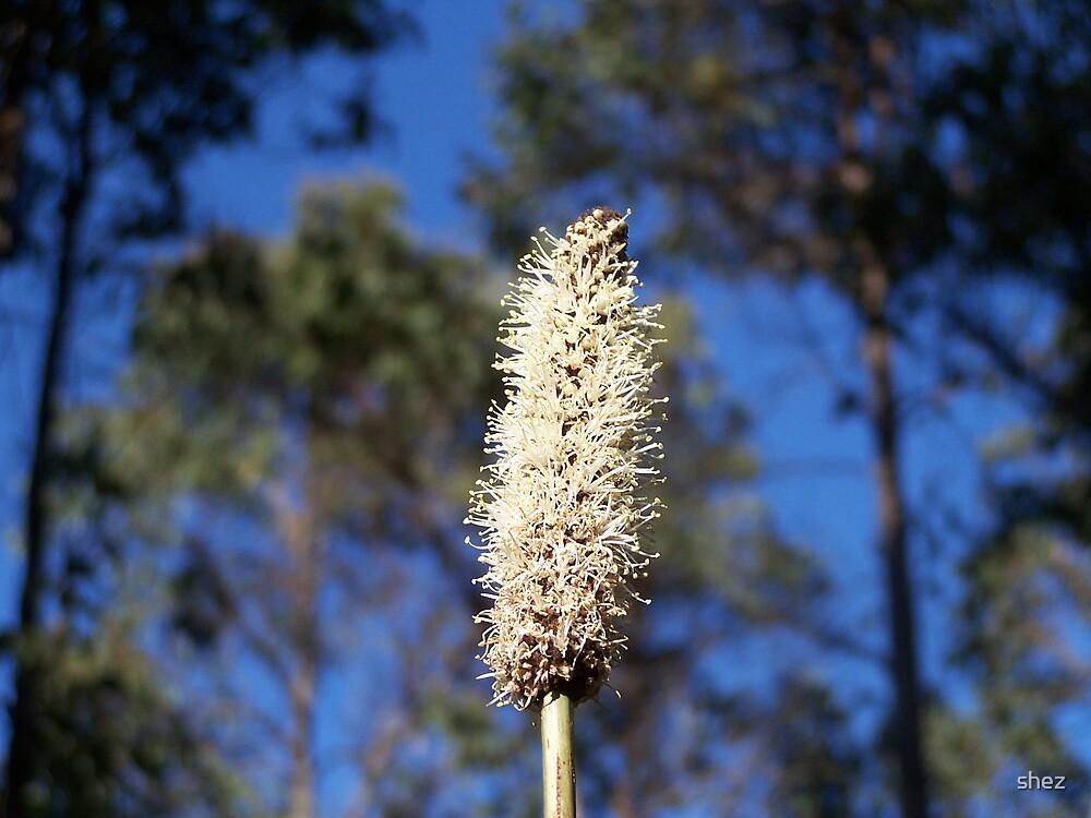 Australian native plant by shez
