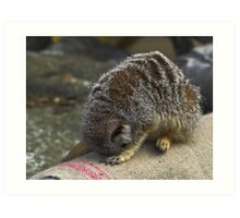 98, 99, 100 - Meercat Coming Ready Or Not Art Print