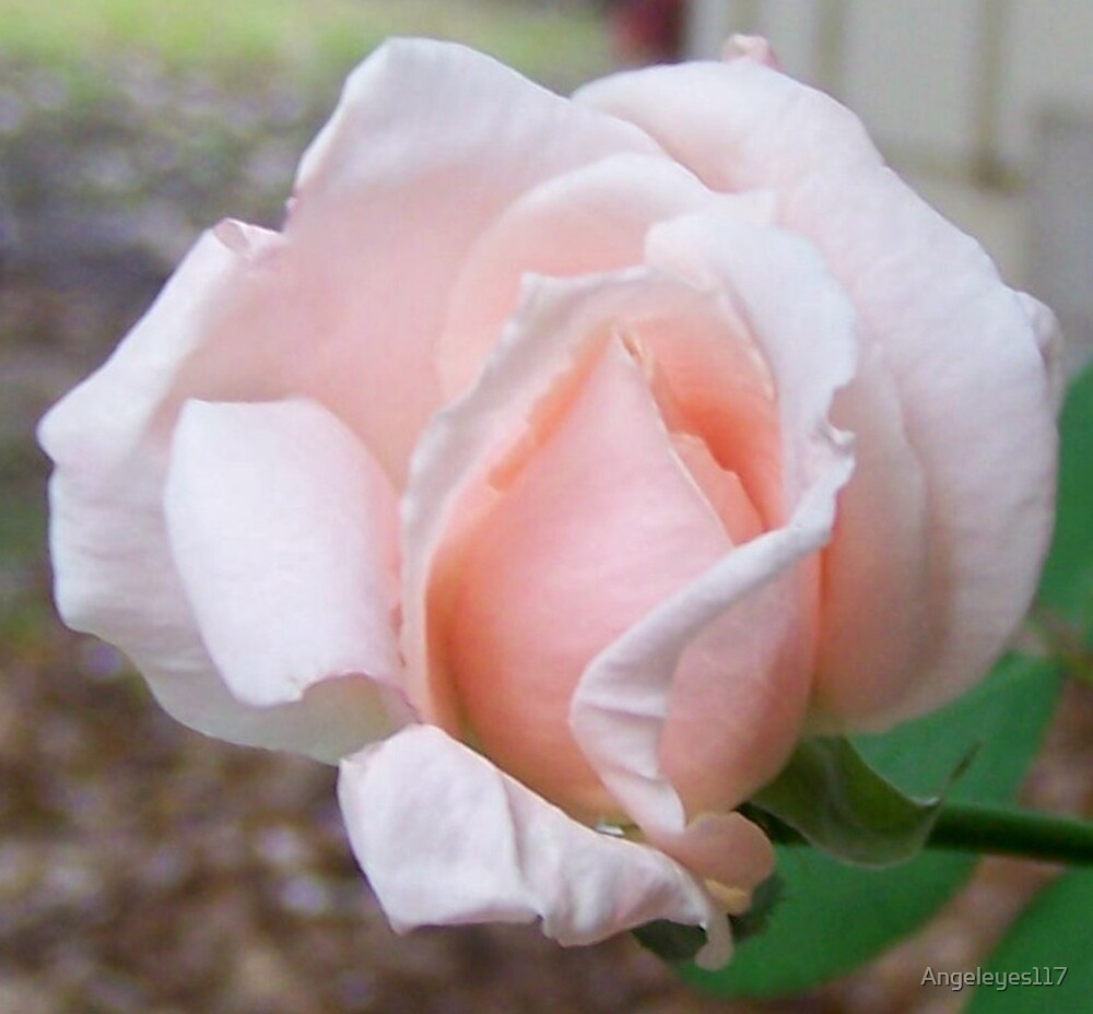 My Favorite Rose by Angeleyes117