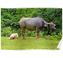 A Calf and his Mother - Sa pa, Vietnam. Poster