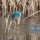 The Common Kingfisher (Alcedo atthis) by Stephen Liptrot
