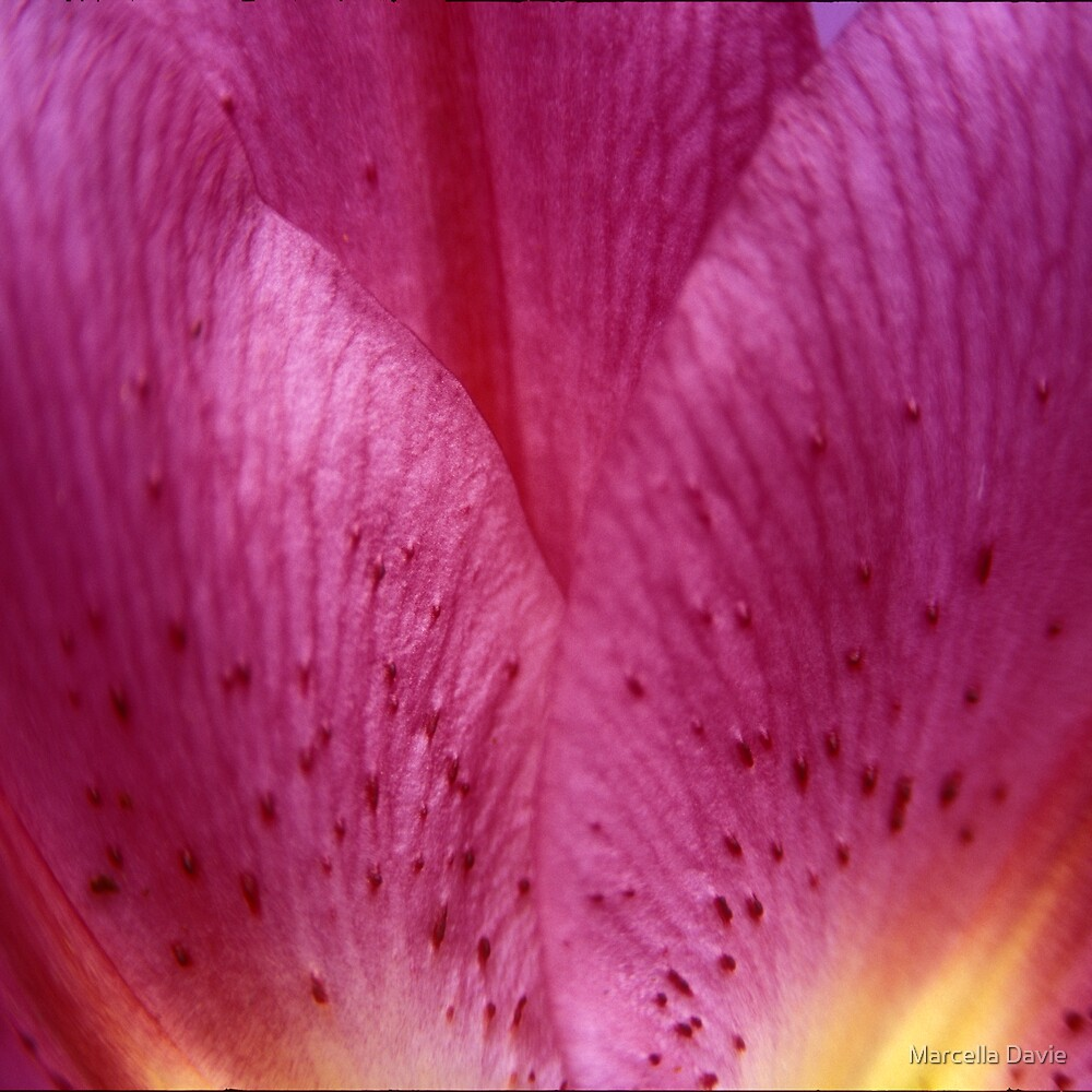Oriental Lily 2 by Marcella Davie