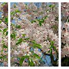 Scale2-Sakura by hinting
