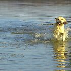 Fun day - Labrador at lake by NicoleBPhotos