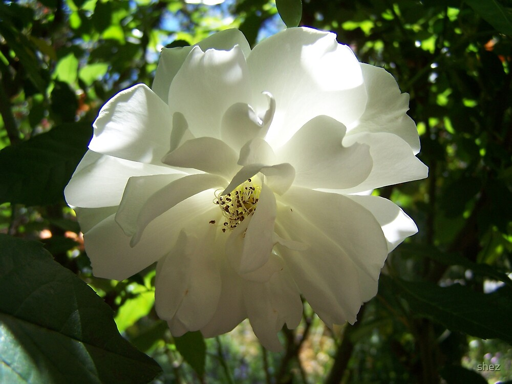 Classic Iceburg Rose by shez