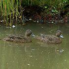 A rare pair.....Brown Teal Ducks......! by Roy  Massicks