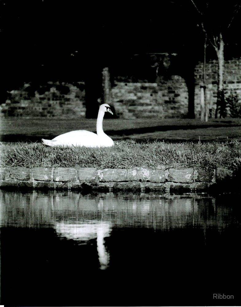 Swan Reflection by Ribbon
