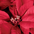 The Beauty of a Poinsettia Flower by Sherry Hallemeier