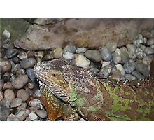 Reptile in Full Colour Photographic Print
