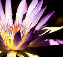 Water Lilly by Robin Fortin IPA