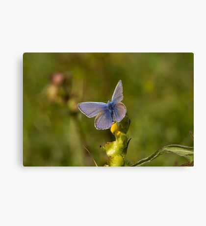 Common Blue Butterfly Canvas Print