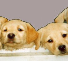 Labrador Pups by countrypix